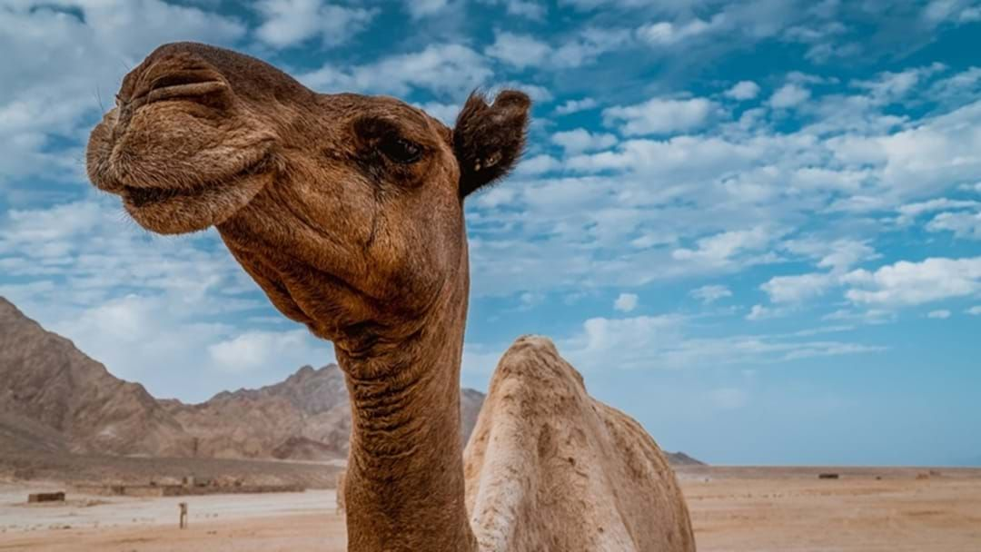 Article heading image for Is The Darling Downs Set to Become the Next Big Thing In Camel Produce?