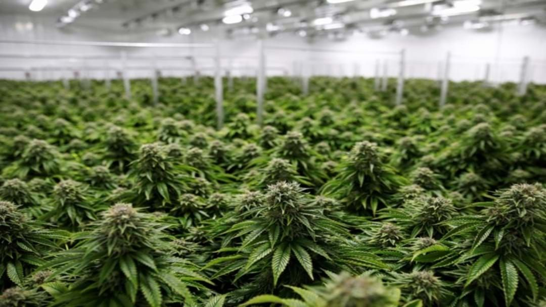 Article heading image for Busted: Hydroponic Cannabis Crop Hidden Under A Trap Door