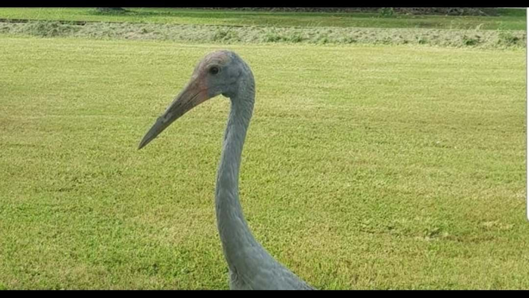 Article heading image for Meet Barry The Brolga!