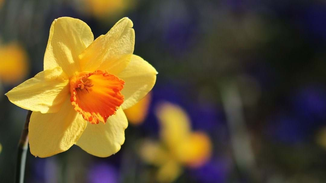 Article heading image for Matman is getting ready for Daffodil Day!