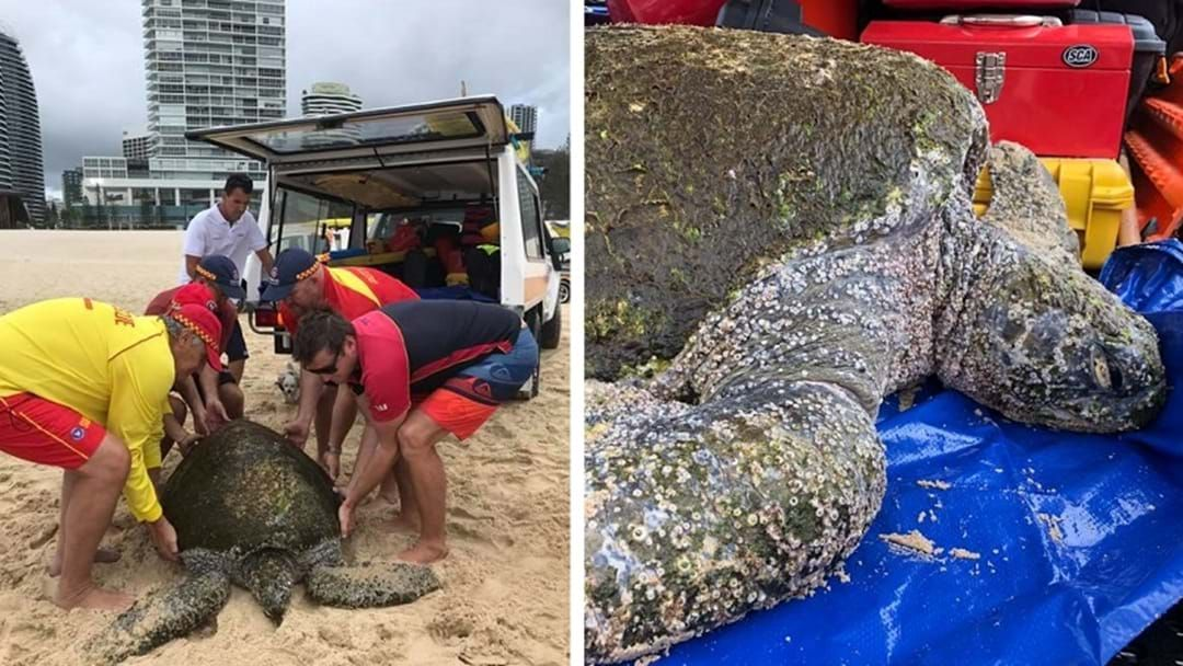 Article heading image for 70-Year-Old Turtle Rescued At Kurrawa Beach