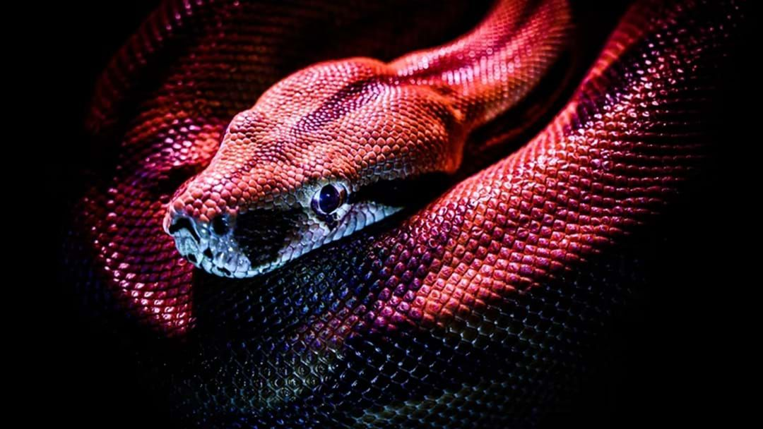 Article heading image for How To Overcome Your Fear Of Snakes