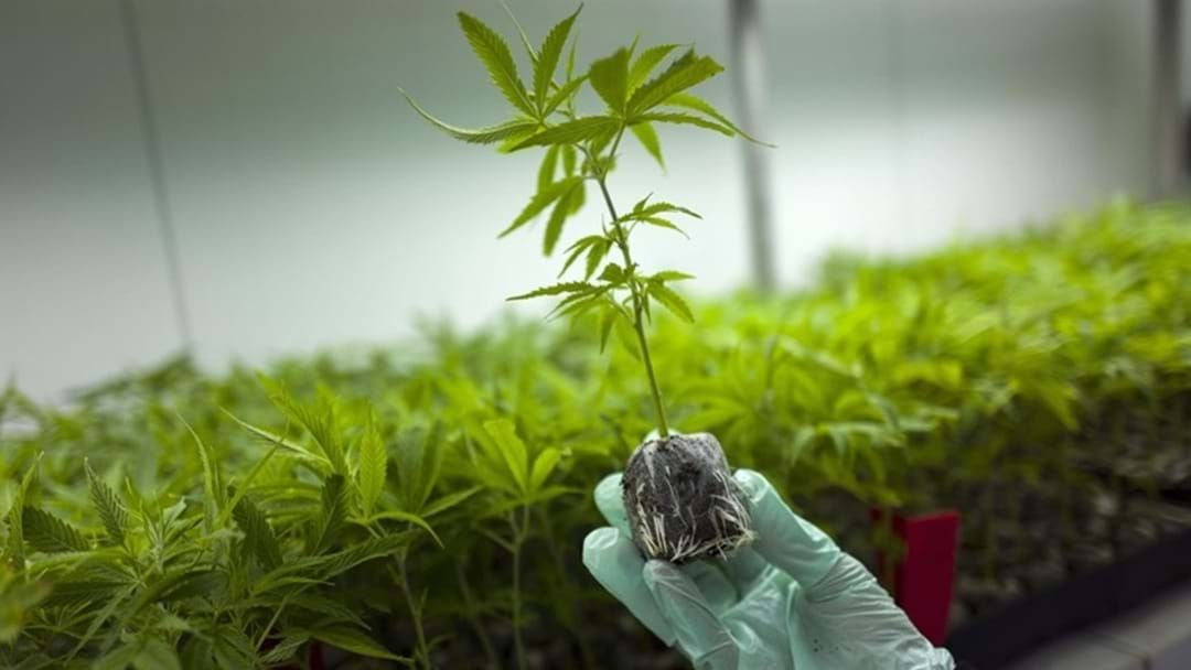 Article heading image for Cannabis Must Fill the Codeine Gap