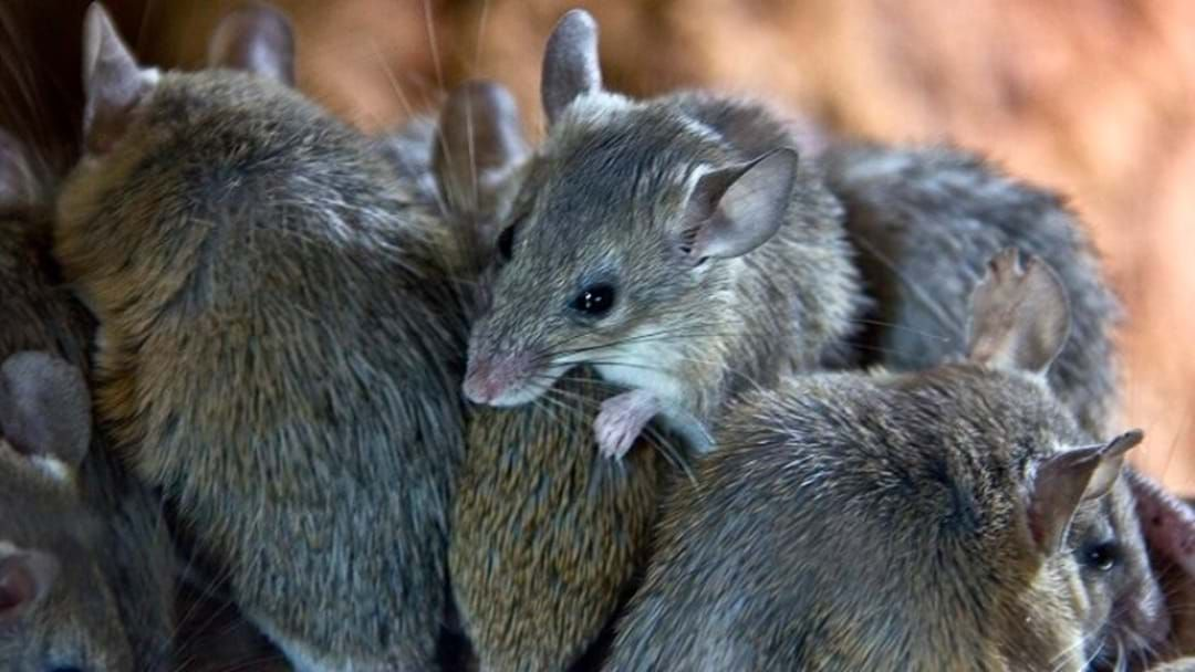 Article heading image for SA Scientists Trial Sterilising Mice In A Bid To End Rodent Plagues