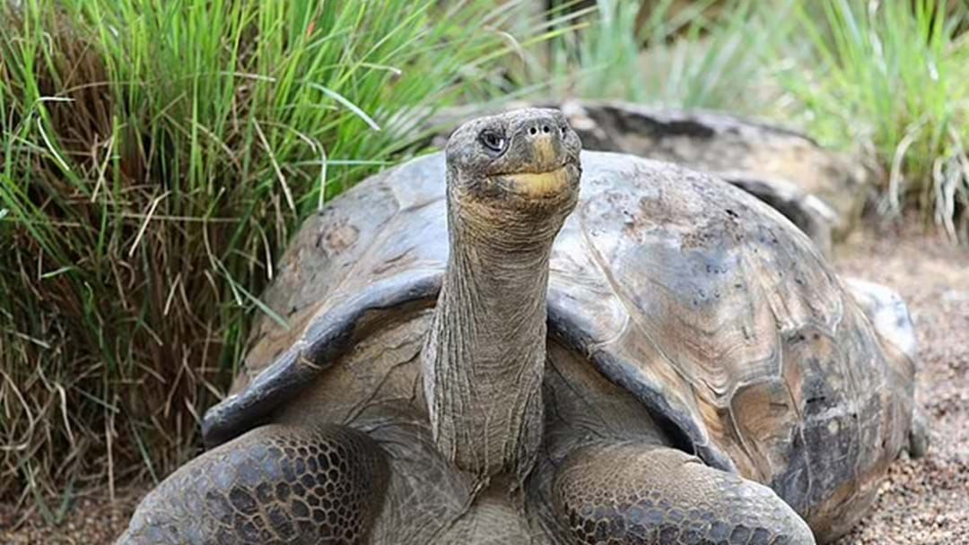 Article heading image for Hugo The Galapagos Tortoise Set To Get German Mail-Order Girlfriend