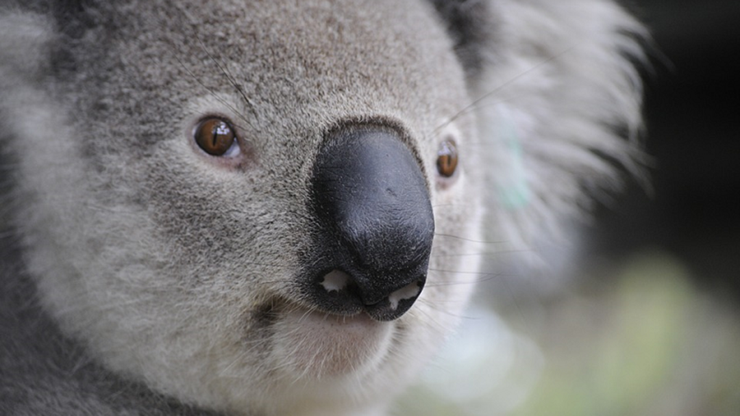 Article heading image for Koala Found Dead In Gold Coast Pool