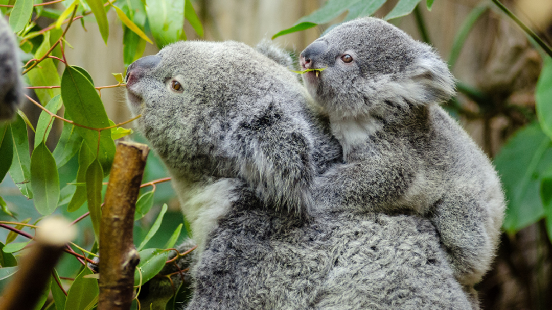 Article heading image for Delightful Discovery That Koalas On The Coast Are Not Extinct