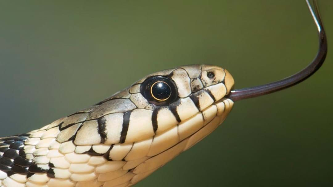 Article heading image for Perth Snake Handler Giving Snake Therapy To Returning Vets And You Know What, It Works!
