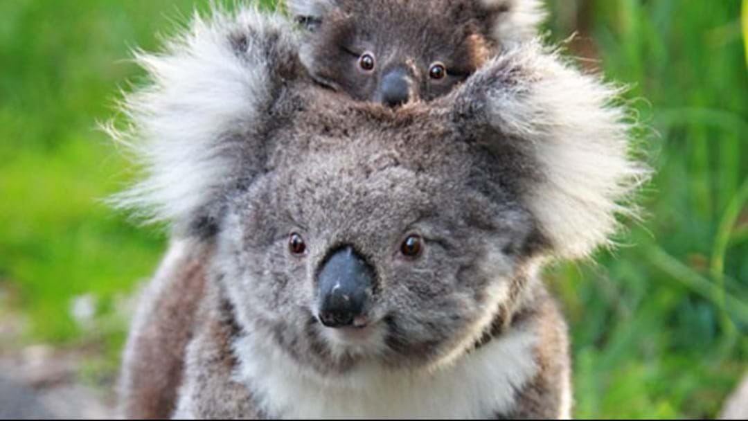 Article heading image for G'Day From Down Under, The World's First Koala Video Date Is Happening Tomorrow