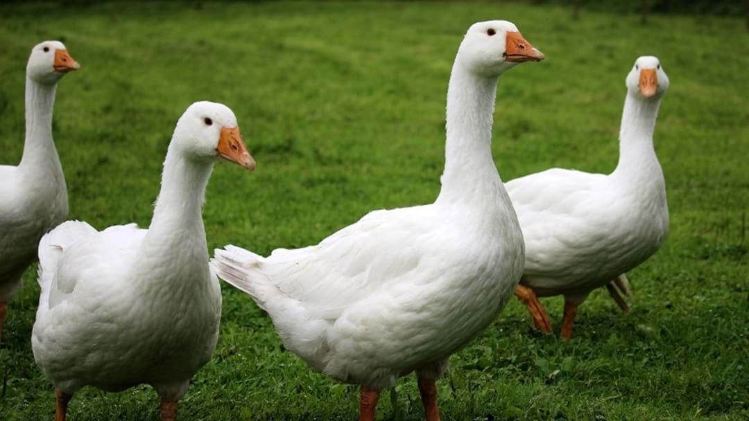 Article heading image for Coomera River Goose Gang Banished From Coast