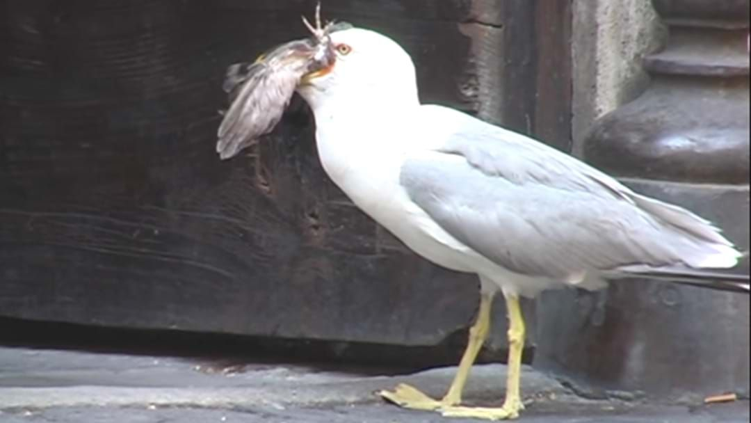 Article heading image for Jay Saved A One Legged Seagull Only To Find Out It Had Two Legs