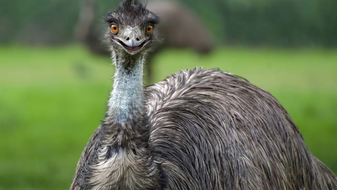 Article heading image for Man Recovering in Hospital after Colliding with an Emu