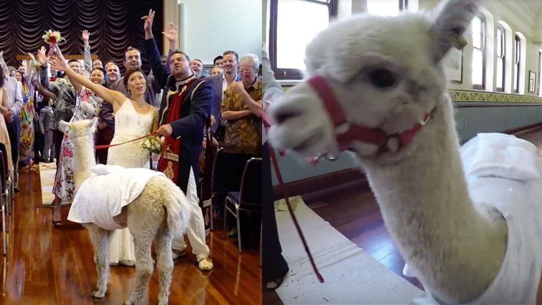 Article heading image for PSA: Alpacas Are Allowed At Weddings Hosted In Perth Town Hall