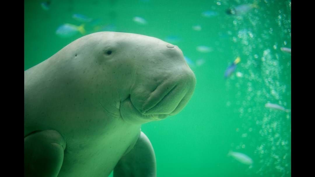 Article heading image for Our Dugongs are gettin' busy this June....