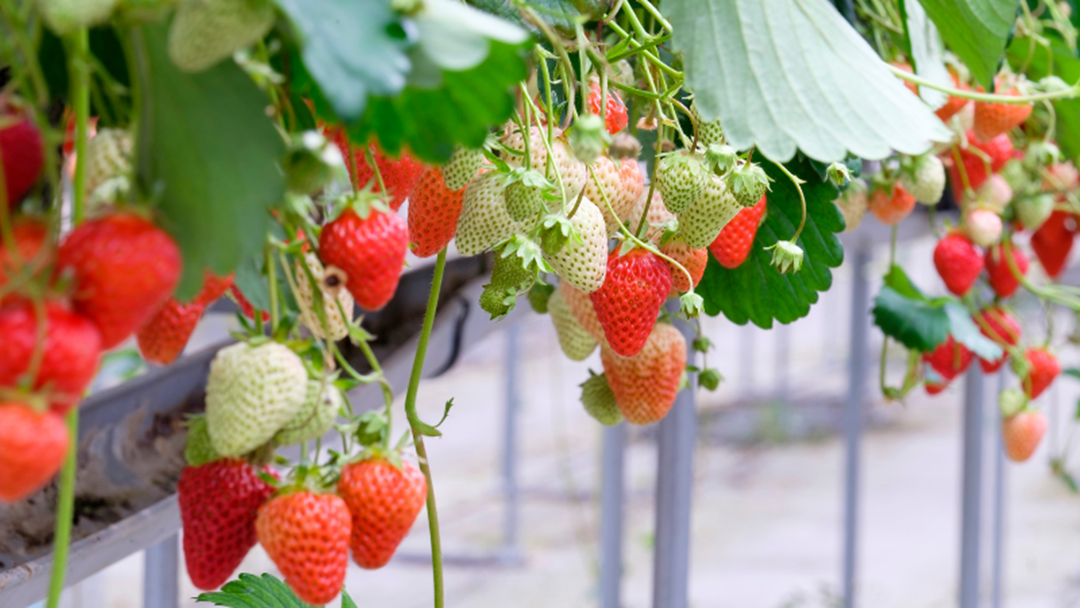 Article heading image for Aussie Strawberry Farmers Are Majorly Struggling Right Now - Here's How You Can Help!