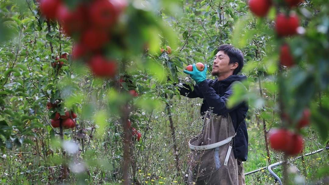 Article heading image for Will There Be Enough Fruit Pickers This Season?