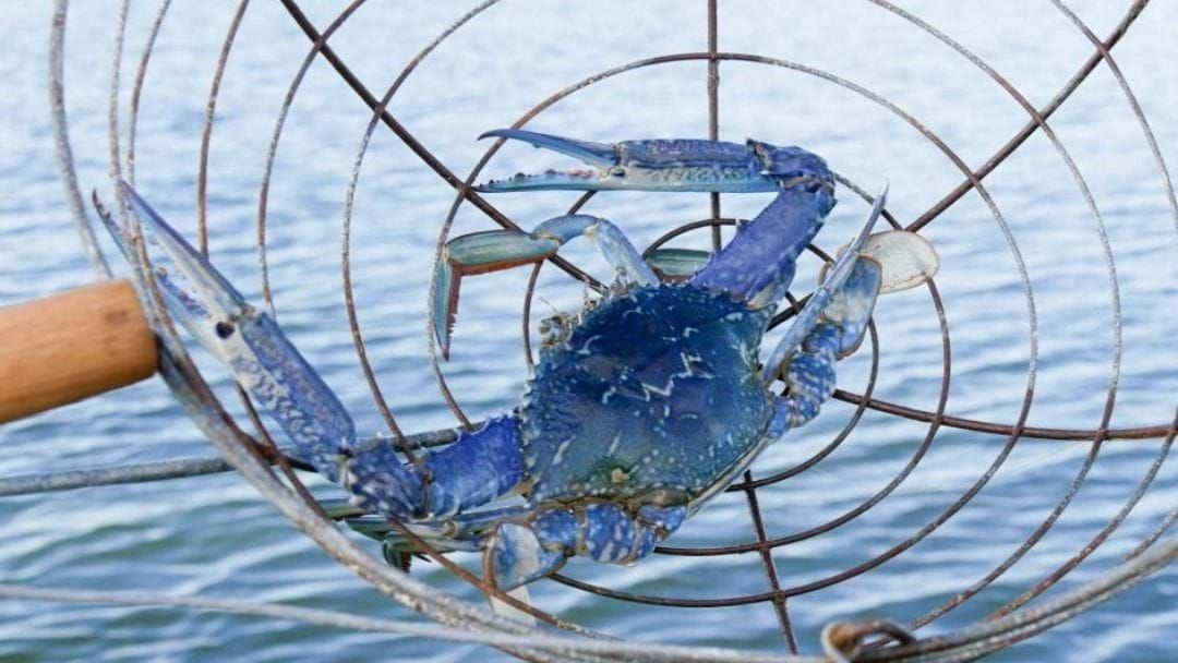 Article heading image for Southwest Blue Swimmer Crabbing Season Is Open For Business!