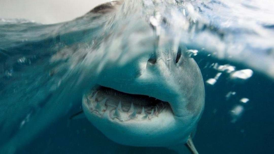 Article heading image for First Great White Shark Caught In Gracetown's Drum-Line Trial