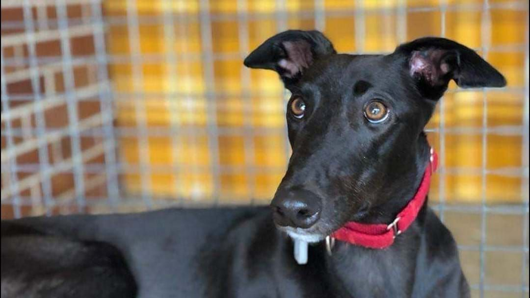 Article heading image for Prepare Yourselves, A Boozy Greyhound Adoption Drive Is Happening
