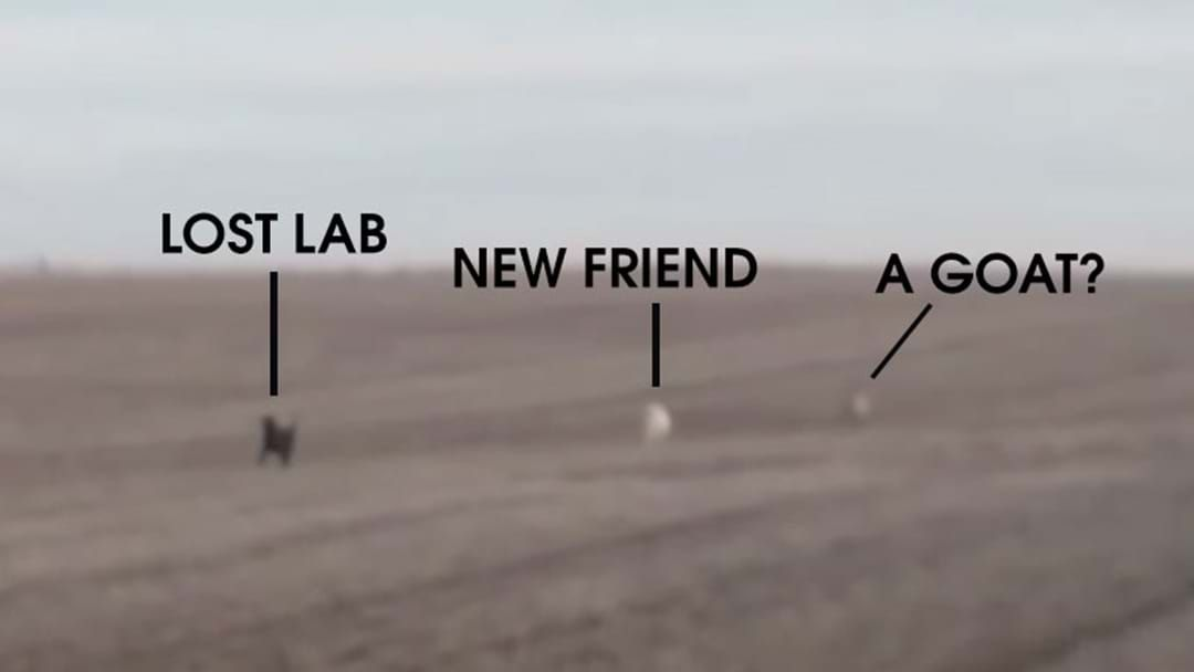 Article heading image for Bloke's Lost Lab Comes Back With A New Mate And A Goat
