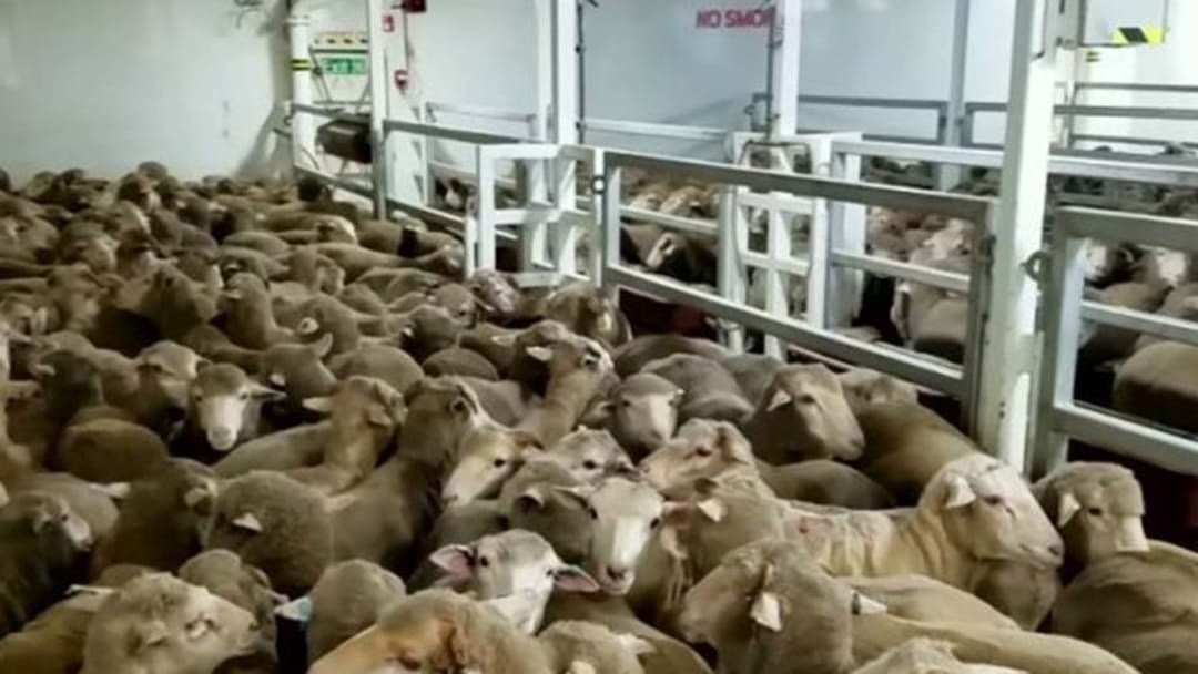 Article heading image for Live Sheep Exports Review Follows 'Shocking' Footage Expose