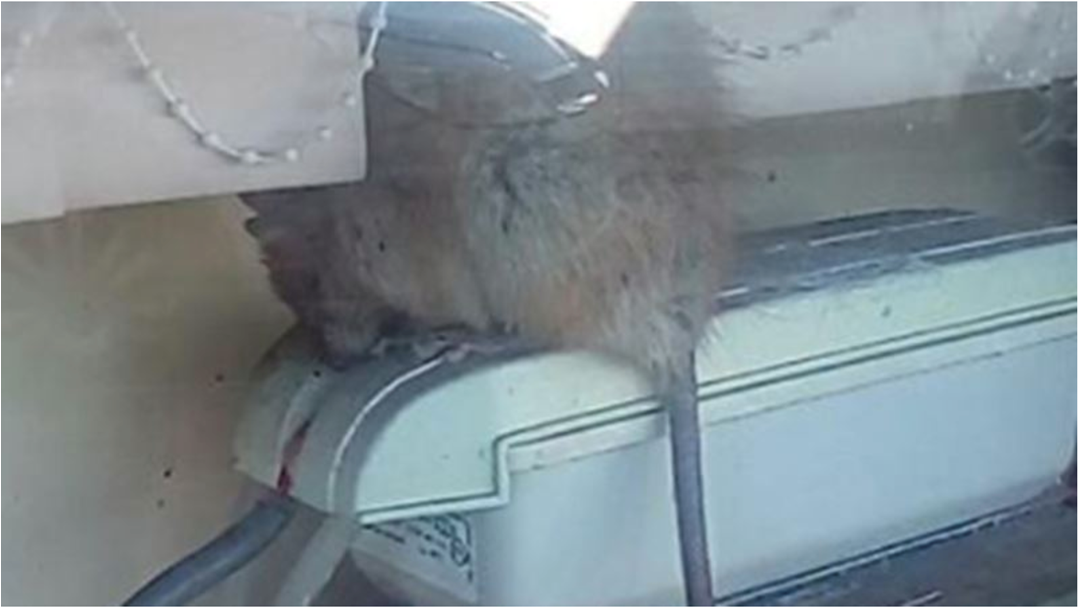 Article heading image for A Giant Rat Has Been Exterminated In A Sydney Restaurant