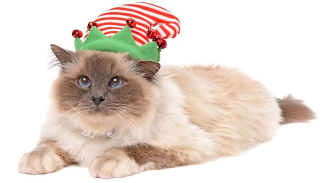 Article heading image for RSPCA South Australia Are Giving Away Free Cats This Chrissy