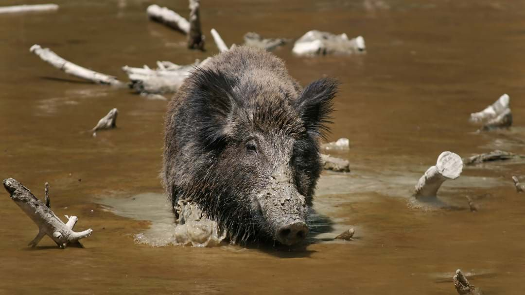 Article heading image for Feral Hogs Prove Pigs Really Can Fly After Finding $22,000 Worth Of Cocaine In The Woods