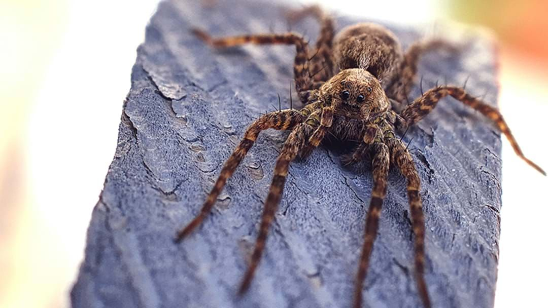 Article heading image for Some Despicable Aussie Has Actually Nursed A Spider Back To Full Health