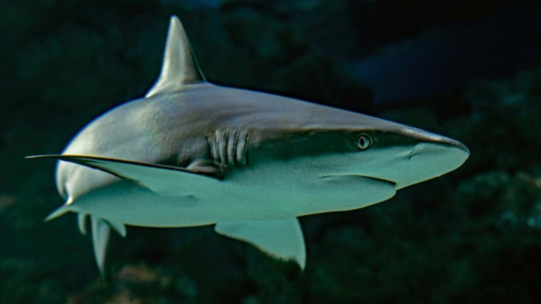 Article heading image for WA Government To Trial SMART Drumlines To Prevent Shark Attacks