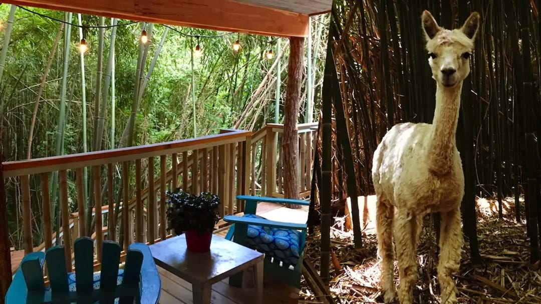 Article heading image for Hang Out With Alpacas And Llamas At This Treehouse Airbnb