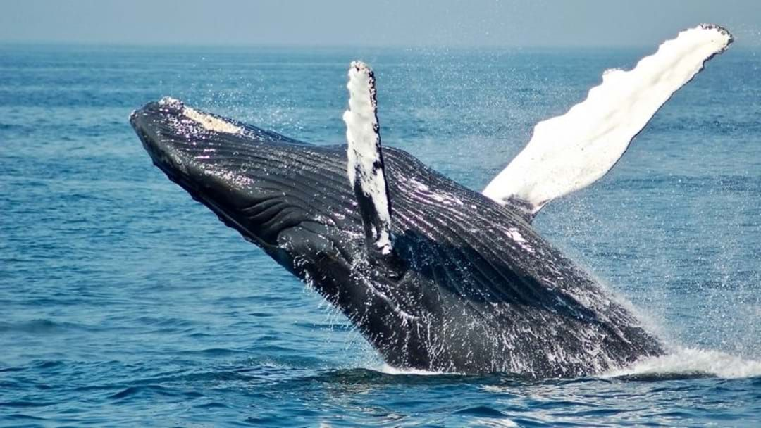 Article heading image for Tasmanians Reminded To Keep Distance As Whales Migrate North
