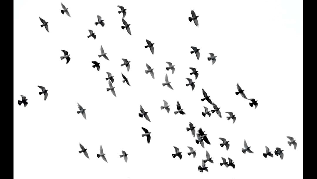Article heading image for Government Plans To  Roll 10 Thousand Litres Of Bromadiolone Killing Endangered Birds