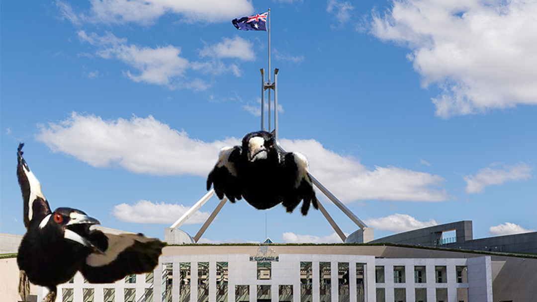 Article heading image for Magpies Are Mercifully Swooping Politicians At Parliament House