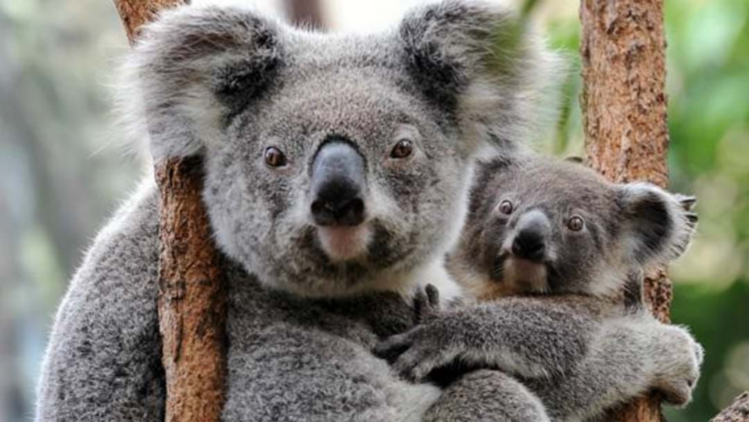 Article heading image for More Than Half Of Australia's Only Chlamydia-Free Koalas Were Killed In Kangaroo Island Bushfires