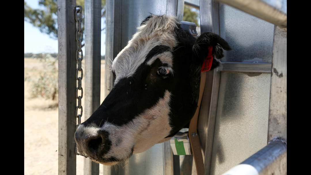 Article heading image for Radio collars being fitted to cattle on Travelling Stock Reserves