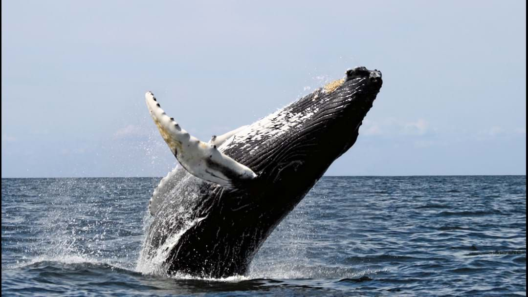 Article heading image for Northern whale migration under way