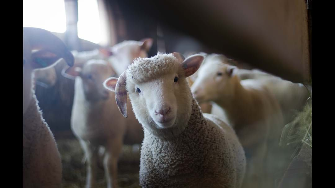 Article heading image for Hand Bottle Feed Lambs