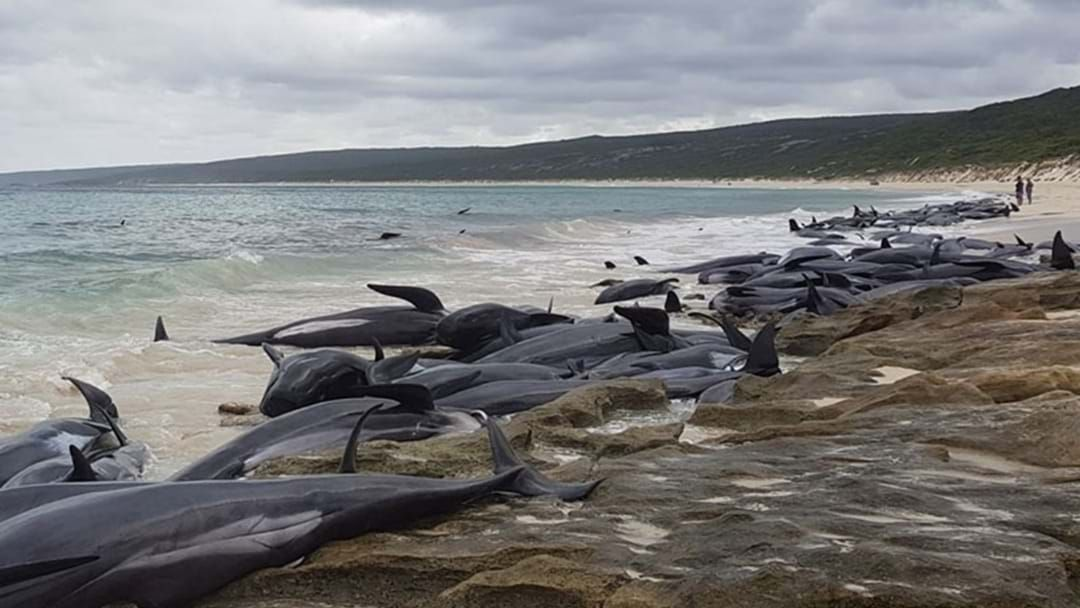 Article heading image for The Tragically Bizarre Circumstance Around Today's Mass Whale Stranding