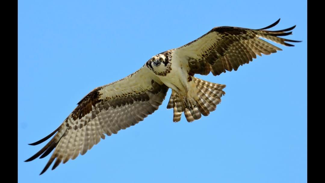 Article heading image for Bunbury Students Protecting Ospreys