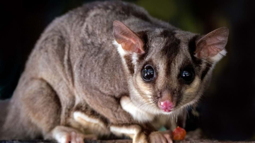 Article heading image for Possums Bounce Back On Maria Island