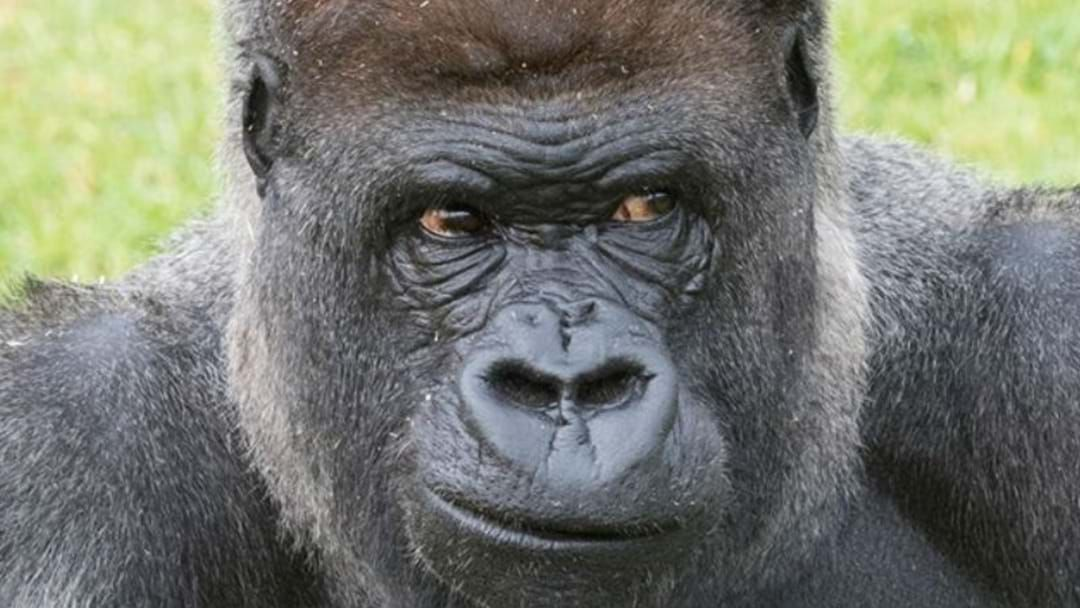 Article heading image for TRIBUTES POUR IN AFTER MOGO ZOO'S SILVERBACK GORILLA DIES