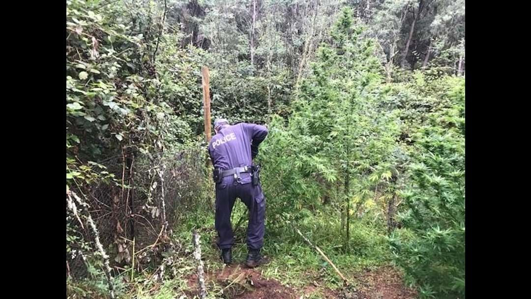 Article heading image for Police uncover cannabis during searches at Batlow and Grahamstown
