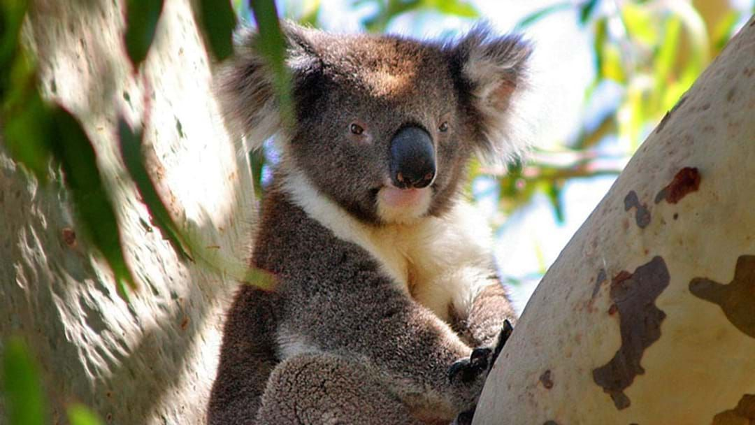 Article heading image for Koalas Could Disappear From Major Gold Coast Habitat