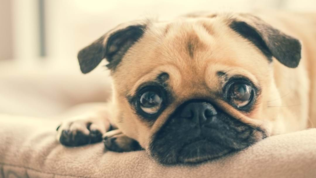 Article heading image for If You Own A Pug, Bulldog, Or Boxer In Townsville This Info Is For You