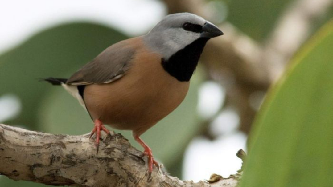 Article heading image for Was Adani's Black Throated Finch Management Plan A Political Move Or Genuine Concern?