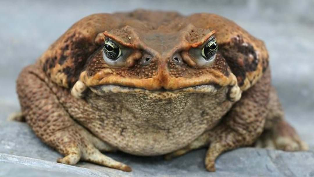 Article heading image for Canetoad Is On The Menu!