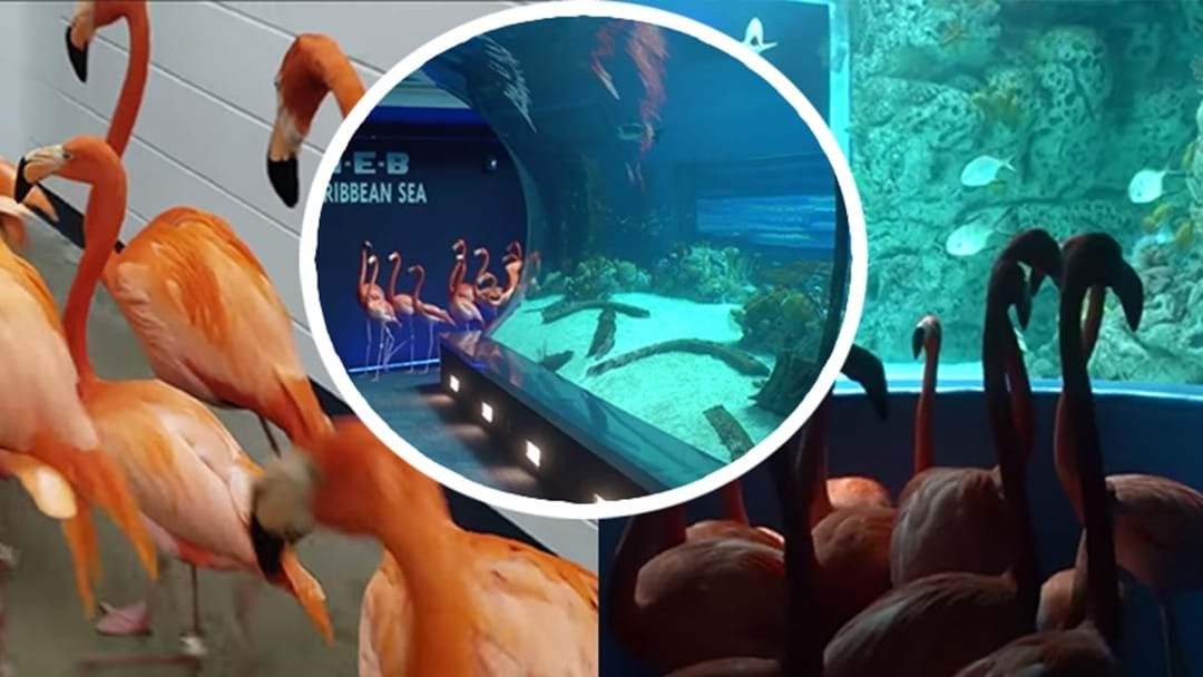 Article heading image for These Flamingos Getting An Aquarium Tour Might Just Be The Best Thing We've Seen On The Internet