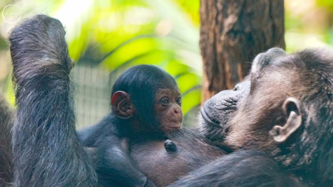 Article heading image for Celebrate Baby Chimp Capri's First Birthday Next Week!