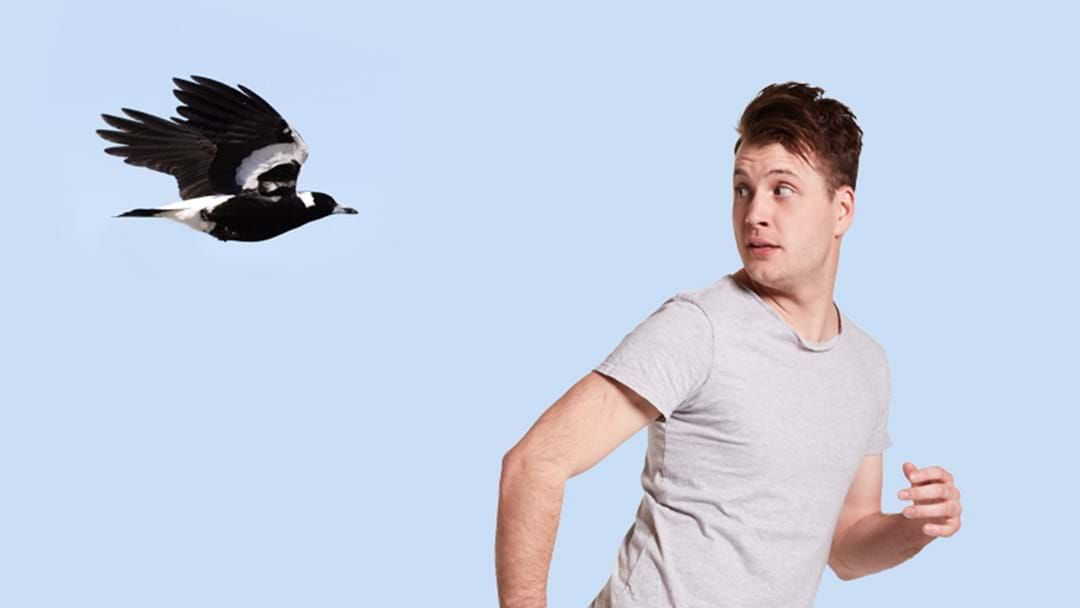 Article heading image for How to Avoid Being Swopped By Magpies